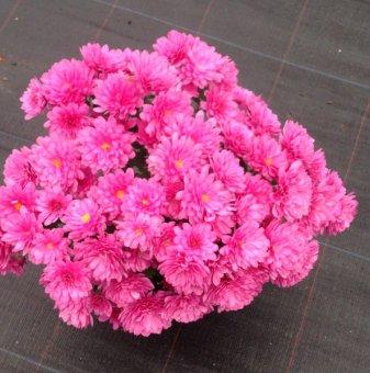 Кълбовидна Хризантема лилава / Chrysanthemum /...