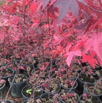 Японски клен Atropurpureum / Acer Atropurpureum - топ цена..