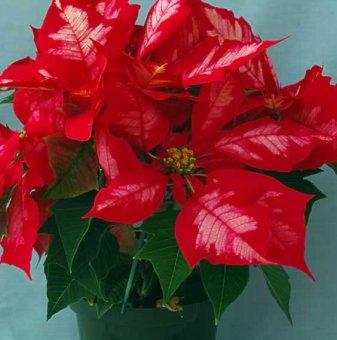 Коледна звезда / червена с бяло 25 см. /
