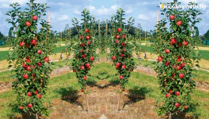 Снимка Колонна ябълка червена 100-140 см. /гол корен/
