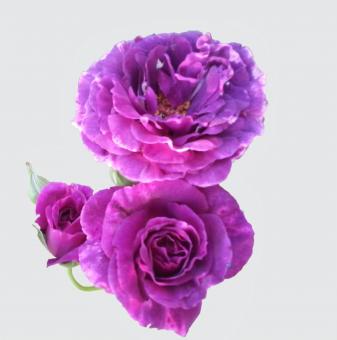 Роза къдрава синьолилава