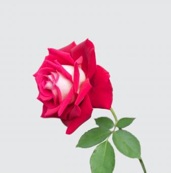 Роза ароматна двоен цвят