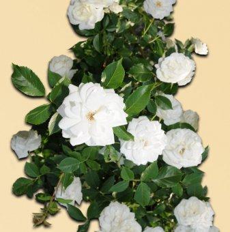 Роза бяла катерлива в контейнер