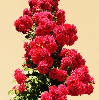 Роза червена катерлива в контейнер