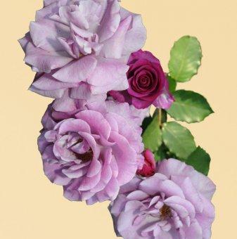 Роза лилава катерлива в контейнер
