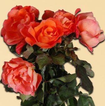 Роза оранжева катерлива в контейнер