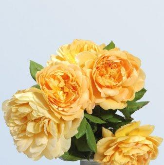 Роза жълта катерлива в контейнер