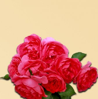 Роза розова катерлива в контейнер