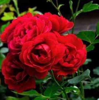 Роза тъмно червена ароматна катерлива в контейнер
