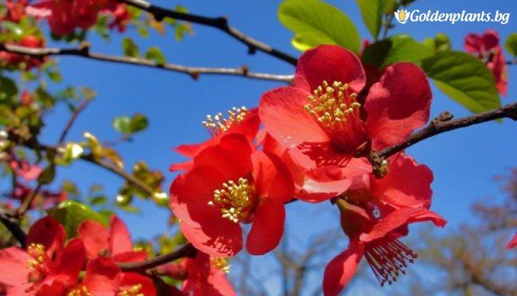 Снимка Японска дюля Crimson and Gold / Chaenomeles Crimson and Gold /