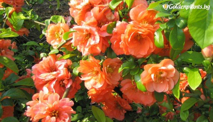 Снимка Японска дюля Orange Trail / Chaenomeles Orange Trail /