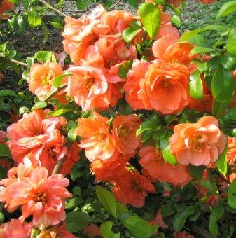 Японска дюля Orange Trail / Chaenomeles Orange Trail /...