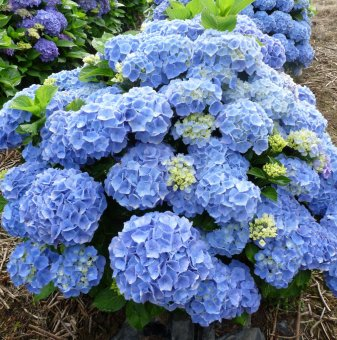 Хортензия / hydrangea macrophylla - синя