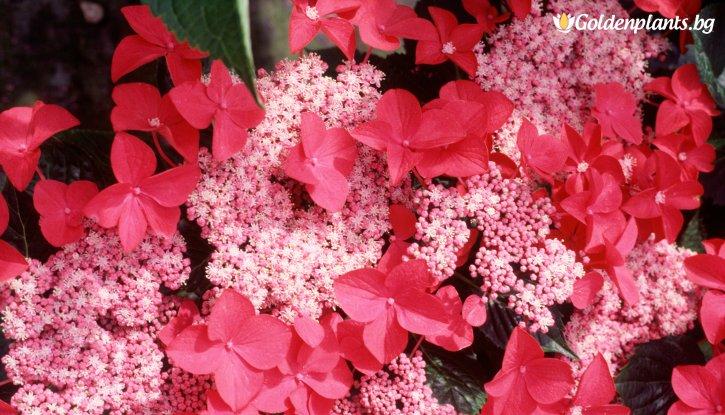 Снимка Хортензия Rotschwanz / Hydrangea macrophylla Rotschwanz /