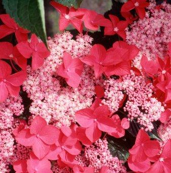 Хортензия Rotschwanz / Hydrangea macrophylla Rotschwanz /..