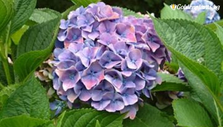 Снимка Хортензия Yola / Hydrangea macrophylla Yola /