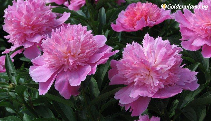Снимка Божур розов / Paeonia pink /