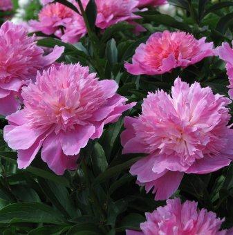 Божур розов / Paeonia pink /