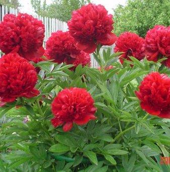 Божур червен / Paeonia red /