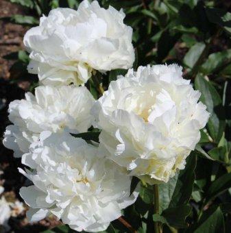 Божур бял / Paeonia white /