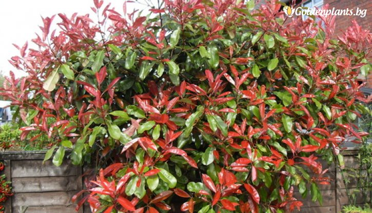 Снимка Фотиния Little Red Robin / Photinia Little Red Robin /