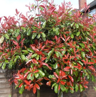 Фотиния Little Red Robin / Photinia Little Red Robin /..