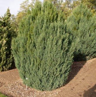 Юниперус Стрикта / Juniperus Stricta /