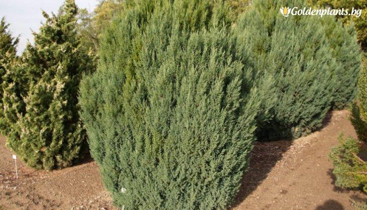 Снимка Юниперус Стрикта / Juniperus Stricta /