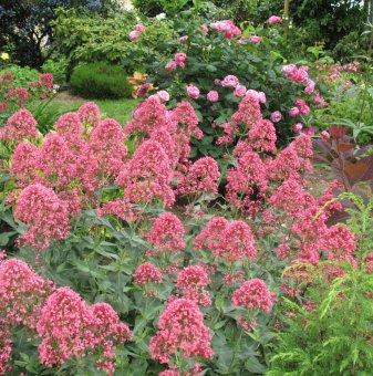 Калифорнийски люляк 25-30 см / Ceanothus x pallidus Perle Rose /..