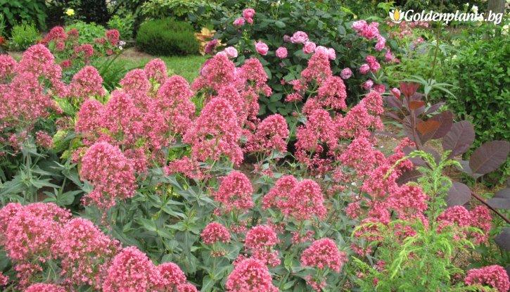 Снимка Калифорнийски люляк 25-30 см / Ceanothus x pallidus Perle Rose /