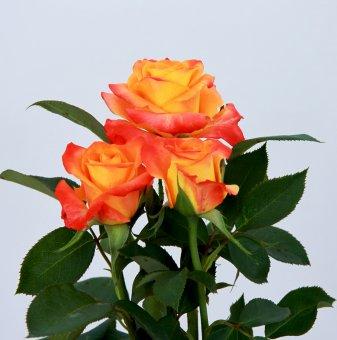 Роза двуцветна оранжево и жълто в контейнер