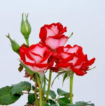 Роза двуцветна червено и бяло в контейнер