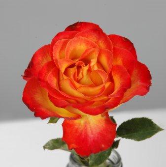 Роза шарена къдрава в контейнер