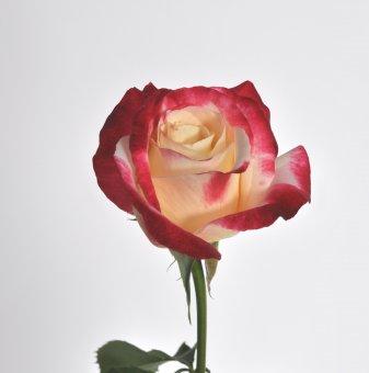 Роза шарена с аромат на парфюм в контейнер