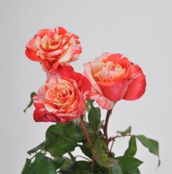 Роза рисувана пъстра в контейнер