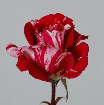 Роза рисувана в контейнер