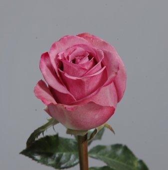 Роза лилава в контейнер