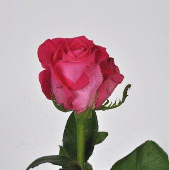 Роза цикламена в контейнер