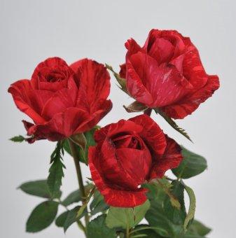 Роза рисувана тъмночервена в контейнер
