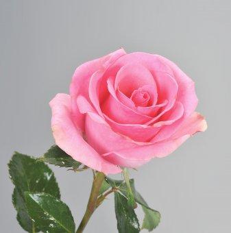 Роза розова в контейнер