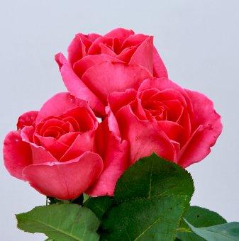 Роза розова ароматна в контейнер