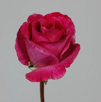 Роза цикламена ароматна в контейнер