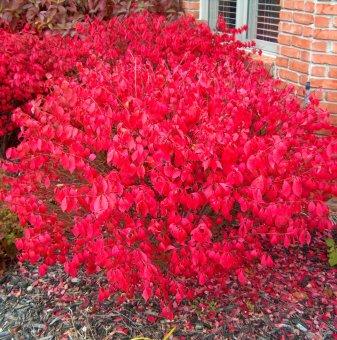 Огнен храст 10-20 см / Чашкодрян / Euonymus alatus /..