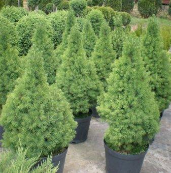 Смърч Коника / Picea glauca Conica /
