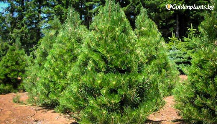 Снимка Черен бор 5-10 см / Pinus nigra /