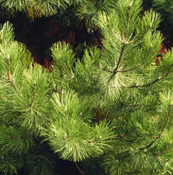 Черен бор 5-10 см / Pinus nigra /