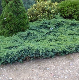 Юниперус Blue Carpet / Juniperus Blue Carpet /