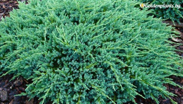 Снимка Юниперус Blue Carpet / Juniperus Blue Carpet /