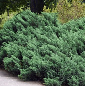 Юниперус Hicksii / Juniperus Hicksii /