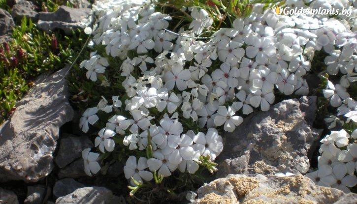 Снимка Алпийски Флокс бял